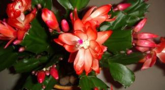 Почему не цветет декабрист в домашних условиях