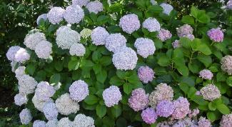 Как вырастить гортензию на садовом участке