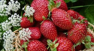 Как правильно ухаживать за клубникой, чтобы получить хороший урожай