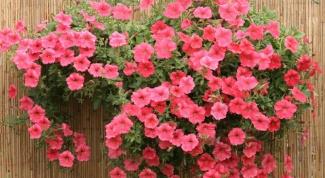 Как вырастить петунию дома