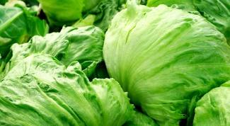Как вырастить салат кочанный