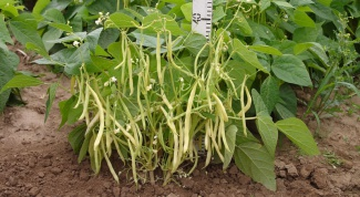 Как вырастить на даче фасоль кустовую
