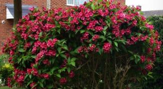 Вейгела - красивоцветущий кустарник для сада