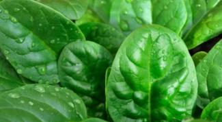 Как вырастить шпинат на дачном участке