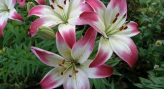 Как размножить лилию удобным способом