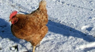 To chickens in the winter swept