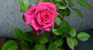 Уход за розами на подоконнике