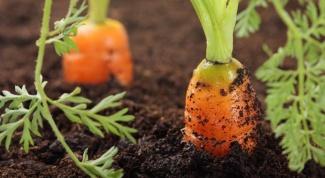 Подготовка к посадке семян моркови