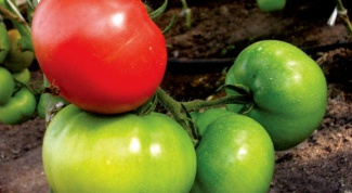 How to speed up the ripening of tomatoes at their summer cottage