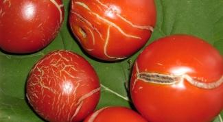Основные заболевания томатов