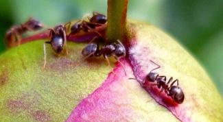 Как избавиться от муравьев на даче