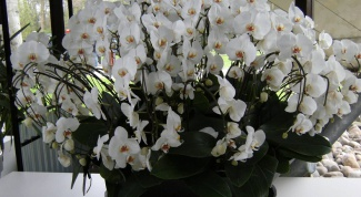 How to multiply orchids at home