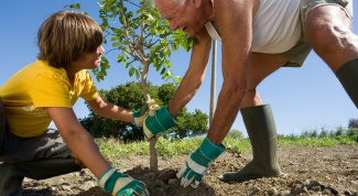 Как правильно посадить  саженец плодового дерева