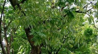 Мыльное дерево: описание
