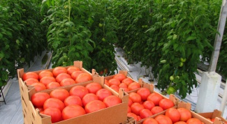 How pasynkovat tomatoes in open field and greenhouse