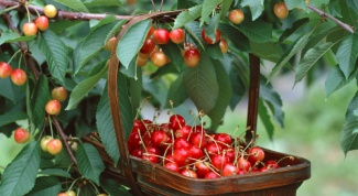 How to protect the harvest of sweet cherries and cherries from birds