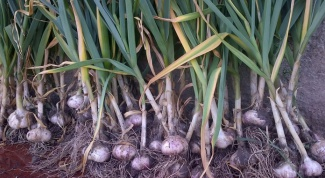 What to do to garlic is not yellowing: folk methods