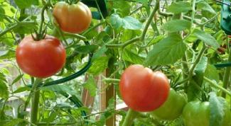 Почему сохнут листья у помидоров в теплице