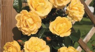Плетистые розы. Правила посадки и уход