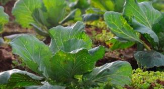 Why cabbage black leg