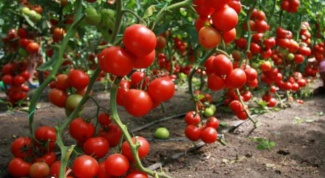 How to fertilize tomatoes yeast