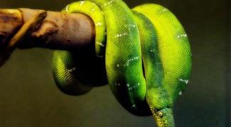 Первые действия при укусе змеи