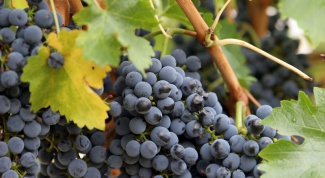 How to trim grapes in the summer and fall