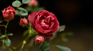How to grow a rose from cut branches