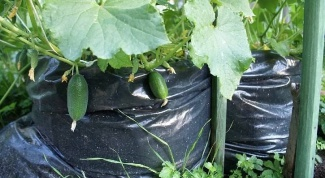 How to grow cucumbers in bags