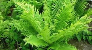 How to cook fresh fern