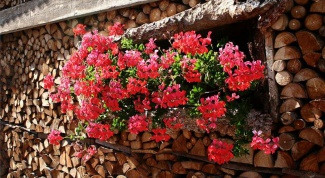 Care of geraniums in the home