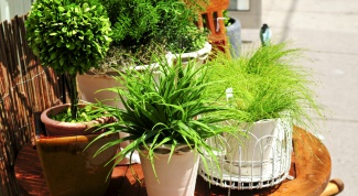 Fertilizer for houseplants, which can be done by