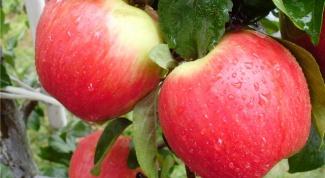 Как посадить яблоню на глинистой почве