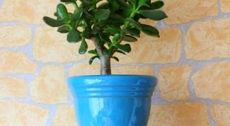 Денежное дерево - основы ухода и некоторые приметы