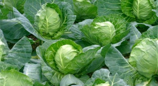 How to handle cabbages from flea