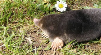 How to get rid of moles in the garden or summer cottage