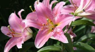 Как посадить лилии и как за ними ухаживать