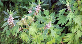 How to drink motherwort