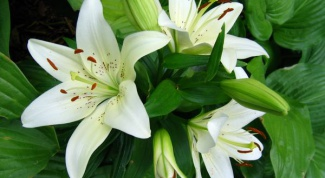 Lilies: planting and care in the open ground