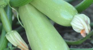 Как добиться кабачков без пустоцветов