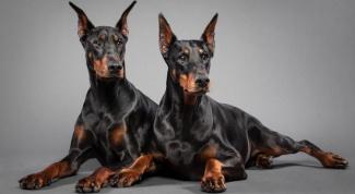 The origins of dog breeds Doberman