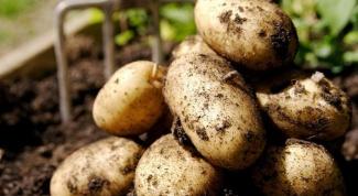 Когда убирать картофель