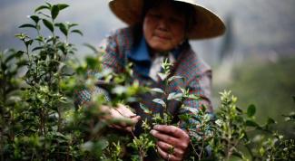 Как связаны вкус чая и сезон сбора?