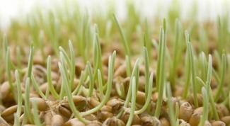Как прорастить пшеницу в домашних условиях для еды