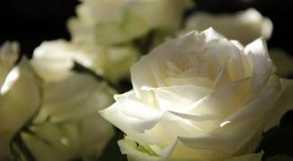 Как надолго сохранить срезанные розы