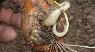 The causes of decay of onions in the garden