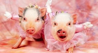 Совместимость гороскопов: Свинья-Близнецы