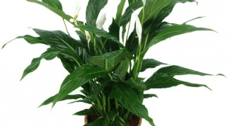 Why blacken the leaves of the Spathiphyllum
