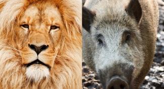 Сочетание гороскопов: Свинья-Лев