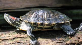 Как правильно лечить красноухую черепаху